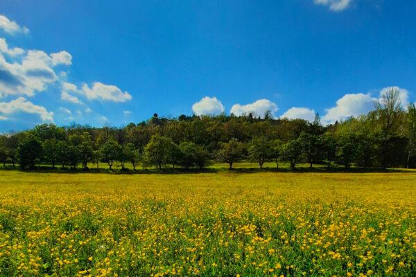 fiori-gialli